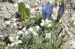 edelweiss and blue campanula
