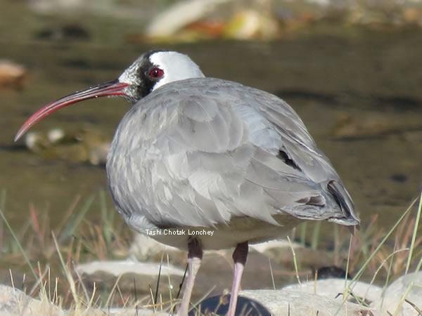 ibisbill