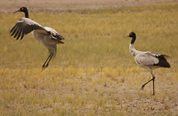 black-necked cranes