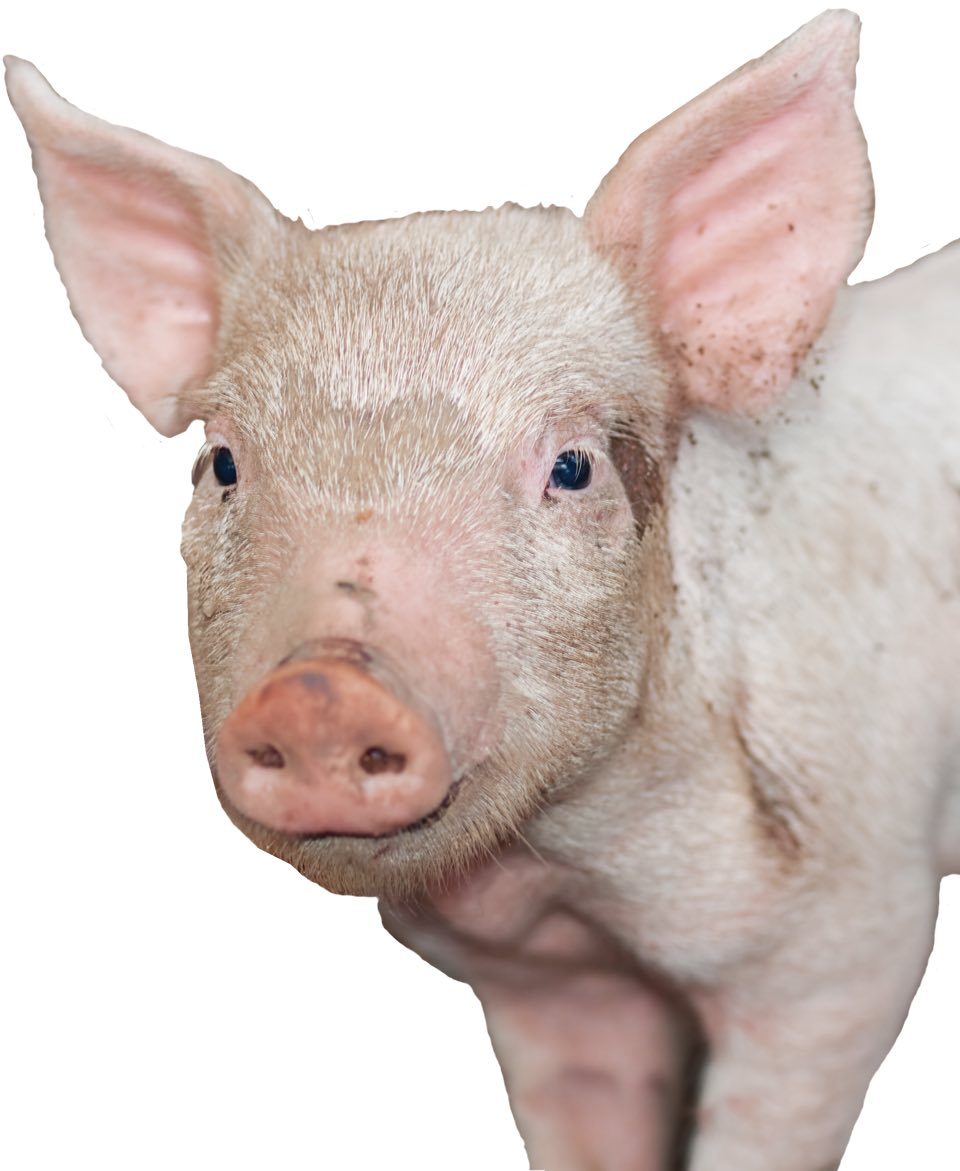 Foto Schweinchen