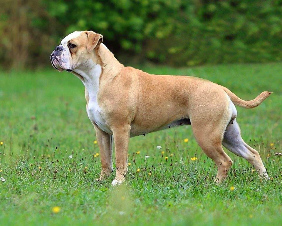 Ch. Bulldogman's Orélie